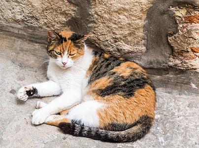stray cat, calico, stray, feline, animal, kitty, eyes
