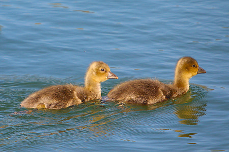 animals, waterfowl, ducks, young, fluffy