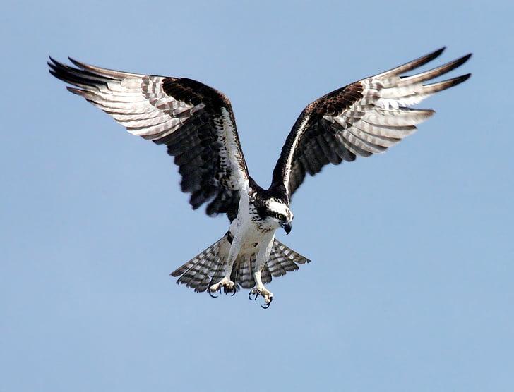 Osprey, Adler, Raptor, lintu, Pandion haliaetus, vapina, lentää