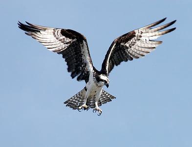 Орел рибар, Адлер, раптор, птица, Пандион haliaetus, друсам се, лети