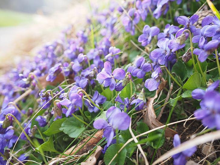 perfumada de violetes, violeta, flor, flor, flor, viola d'olor, març violetes