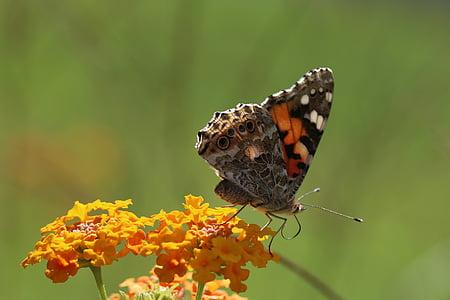 пеперуда, макрос, затвори, зелено поле, животните, Пролет, цвете