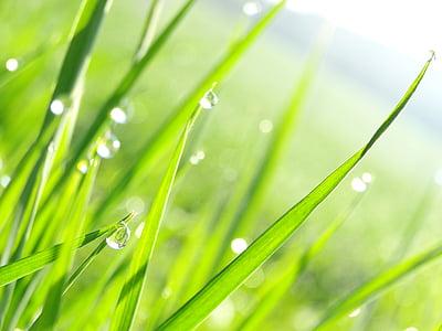 por goteo, hierba, naturaleza, verde, planta, Mañana, gota de rocío