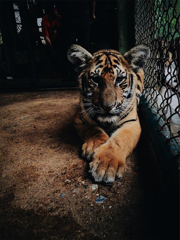 tiger, zoo, cage, mammal, wildlife, animal, cat