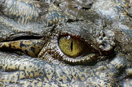 crocodile, eye, animal, nature, reptile, australia, one animal
