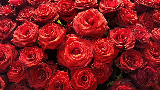 Rosa, flor, flor, rosa vermella, Rosa - flor, vermell, l'amor
