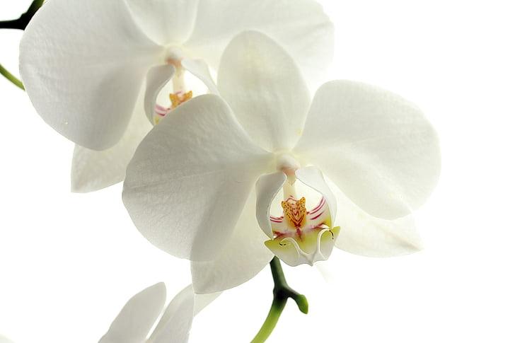 blomst, blomster, natur, plante, Orchid, hvid, sommer
