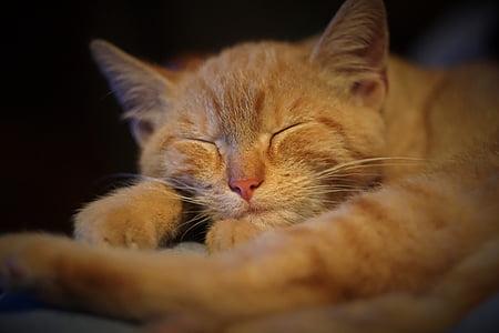 gingebre, gat, gat, son, gat domèstic, animal, animal de companyia