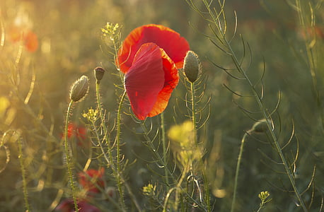 poppies, summer, flower, poppy, nature, red, plant