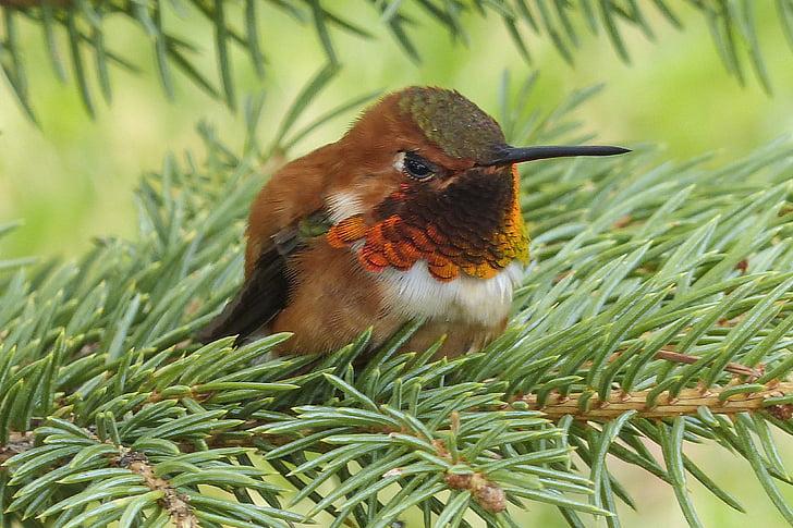 allens hummingbird, hummingbird, colibri, selasphorus sasin, male, feathered, colorful