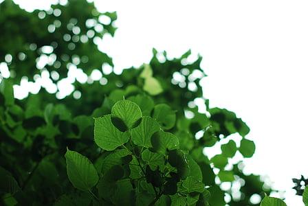 verd, fulles, natura, fulla, medi ambient, l'estiu, primavera