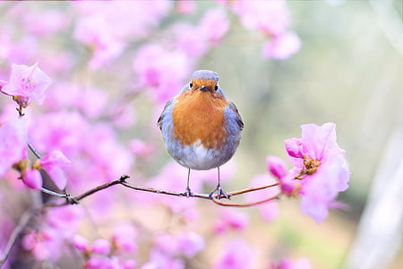 spring bird, bird, spring, robin, flowering tree, nature, branch