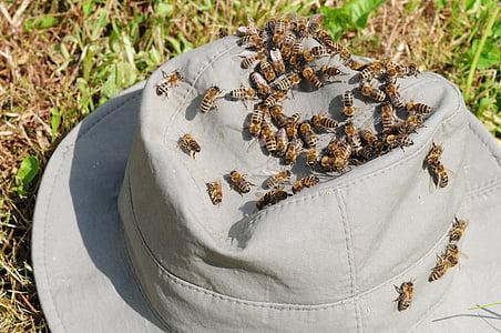 abelles, insecte, tancar, abelles de mel, APIs, abella en l'enfocament, barret