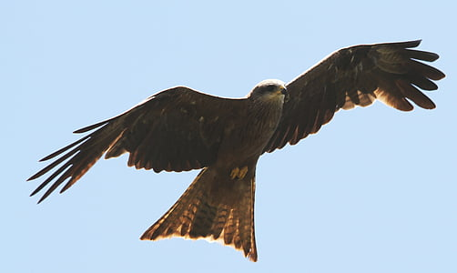 bird, bird of prey, flight, bird flight, animal world