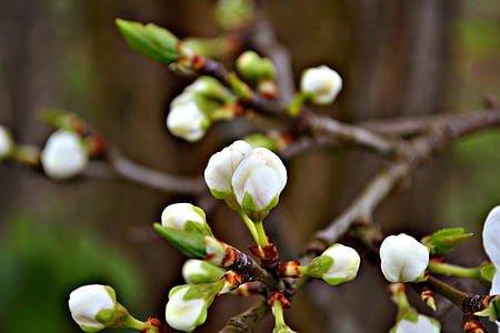 blossoms, blossom buds, white blossoms, flower buds, spring, fruit blossoms, fruit tree