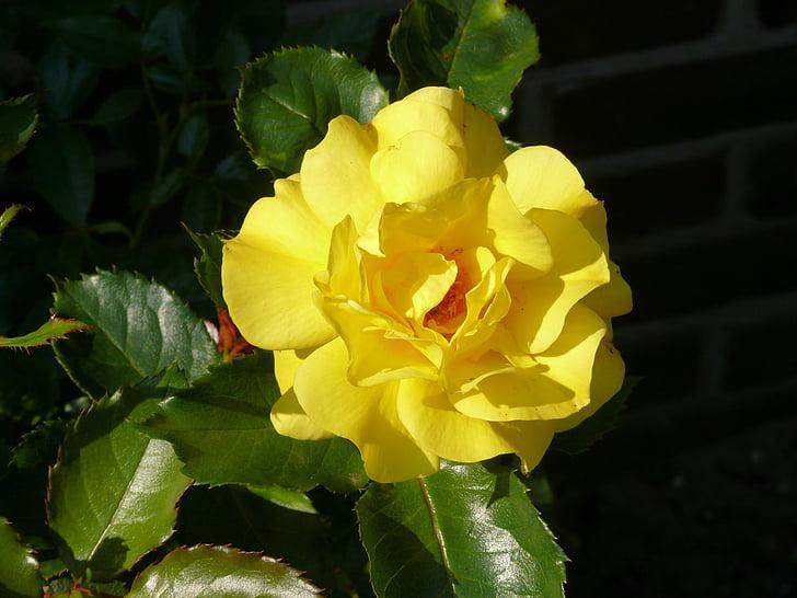 ruže, žltá, kvet, rastlín, zelené listy