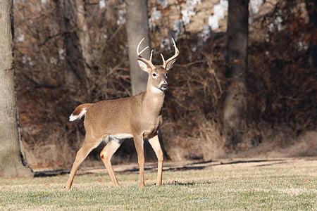 사슴, 벅, 야생 동물, 동물, 자연, 남성, whitetail