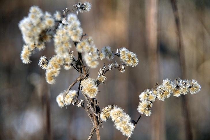 flor seca, flor, l'hivern, natura