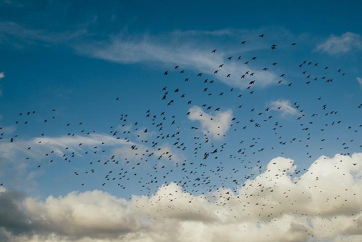 птици, облаците, стадо, плаващи, небе, птица, стадо от птици