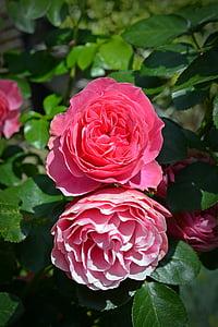 กุหลาบ, ดอก, บาน, กุหลาบสีชมพู, ดอกไม้ดอกกุหลาบ, สวนกุหลาบ, ดอกไม้