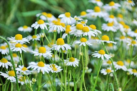 margarides, flors, flor blanca, primavera, jardí, verd, floració