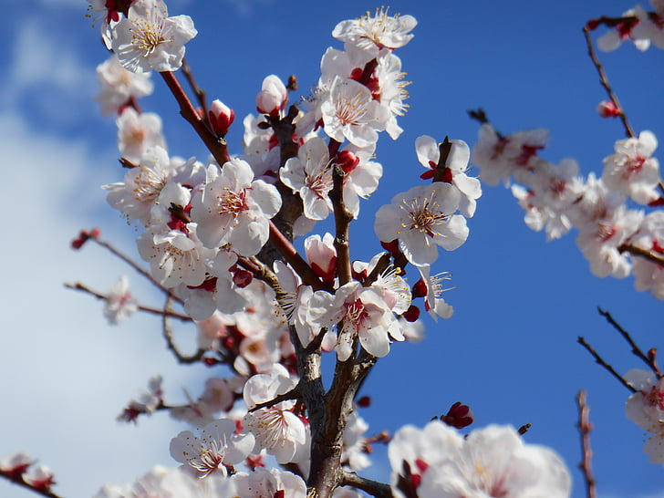 plum, white plum blossoms, white plum, plum blossoms, plant, blossom, flowers of early spring