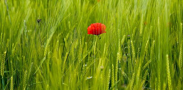 Valmue, felt, natur, vilde blomster, mohngewaechs, klatschmohn, blomst