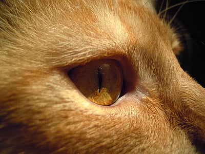 kissa, Tomcat, silmä, eläinten, Pet, nisäkäs, makro