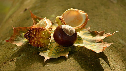kastan, Sügis, kuldne oktoober, lehed, kannus, Shell, Sügis lehed