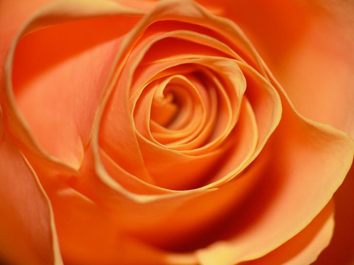 tõusis, roosõieliste, lill, õis, Bloom, oranž, Armastus