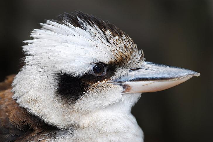 Ljepo, ptica, Australija, priroda, biljni i životinjski svijet, Vodomar, bijeli