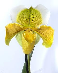 frauenschuh, Orchid, kollane, õis, Bloom, lill, taim