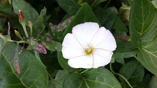 blomst, hvit, naturlig, hvite blomster, blomster, våren, natur