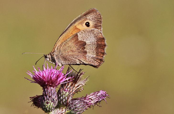 Метелик, Комаха, метелики, lycaon, крило, Природа, тварини
