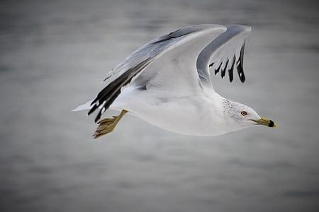 ocell, volar, natura, vector d'ocells, ala, ocells volant, volant