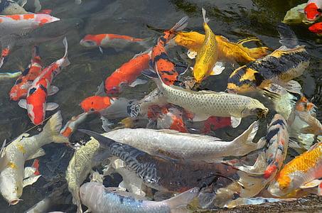 peix, l'aire lliure, peixos de Koi, peixos ornamentals, Estany de peixos, carpa de Koi, carpa