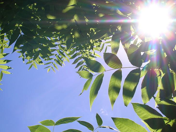fulles, llum del sol, raigs sol