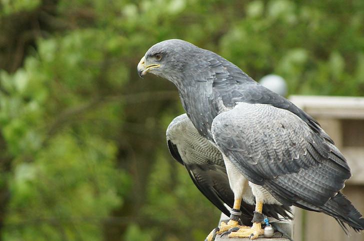 adler, bird of prey, raptor, bird, animal, nature, plumage