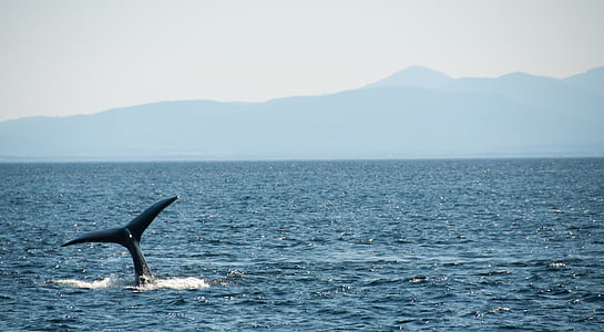 aquatic, humpback, whale, marine, sea, ocean, nature