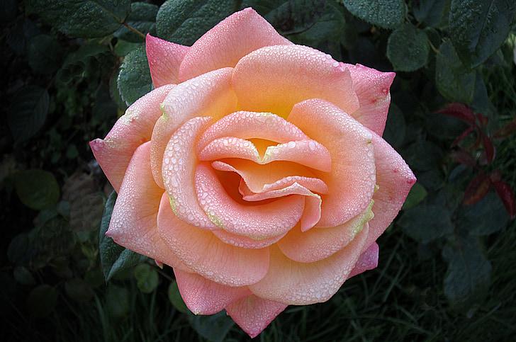 rosengarten kissingen ไม่ดี, กุหลาบเมือง kissingen ไม่ดี, สวนกุหลาบ, กุหลาบ, ดอกไม้, ดอกกุหลาบ, ปิด