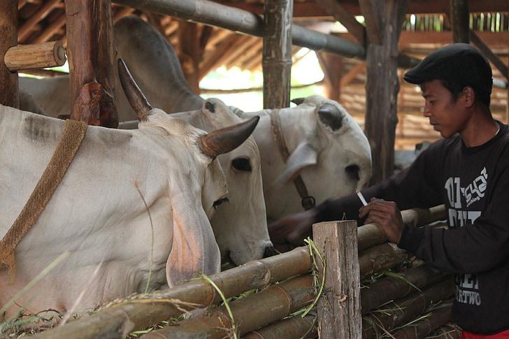 bydło, hodowców bydła, krowa java, Indonezyjski bydła, Indonezyjski ludzi, wieśniak