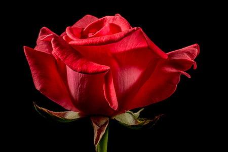 rosa vermella, Rosa, flor rosa, flor, flor, flor, vermell