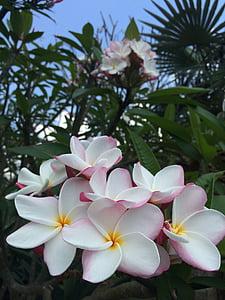 flower, wild, wild flower, nature, wild flowers, white, frangipani