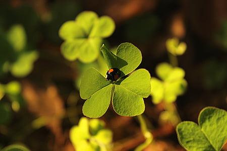 Neliapila, leppäkerttu, vihreä, Luonto, lehti, kasvi, vihreä väri