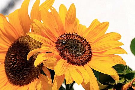 Sun flower, Helianthus annuus, liitained, Korvõielised, lilled, taim, kollane