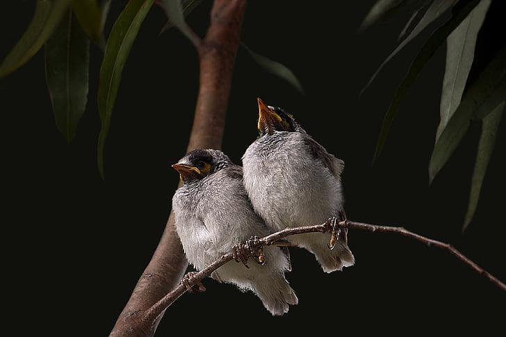 noisy miner, babies, grey, feather, manorina melanocephala, honeyeater, chick