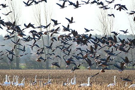 gâşte, whooper swan, pasăre, lebede, gâscă, pasăre migratoare, pasăre de apă