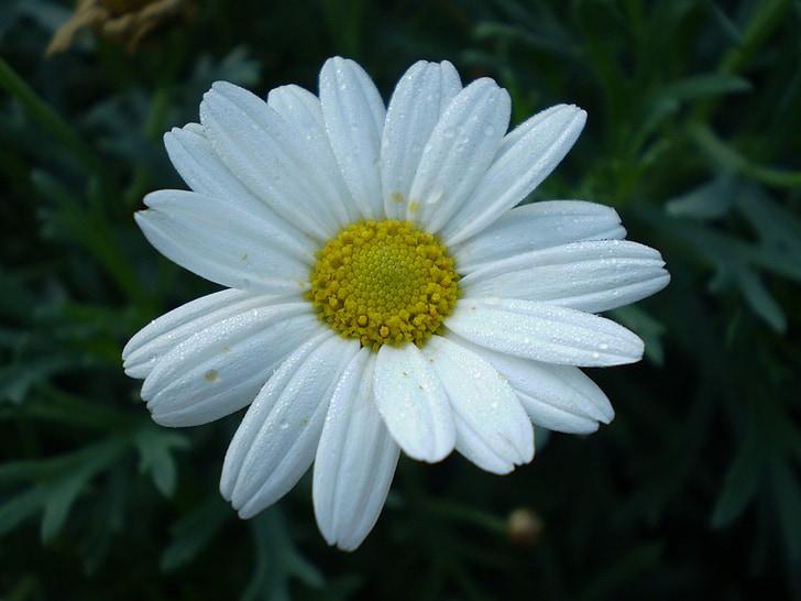 ดอกไม้, ดอกเบญจมาศ, สีขาว, โรงงาน, บาน, กลีบ, ดอก