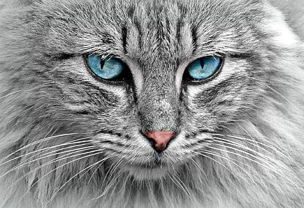 котка, животните, котка портрет, скумрия, котешки очи, домашен любимец, кожа