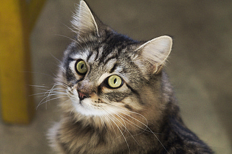 cat, eyes, animal, feline, tabby cat, cat eyes, european cat